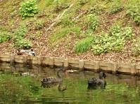 cygnes noirs et colverts.