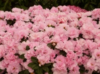 joli bouquet d'azalées.