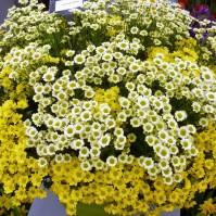 chrysanthèmes en bouquets.