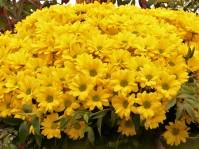 Gerberas en bouquets.