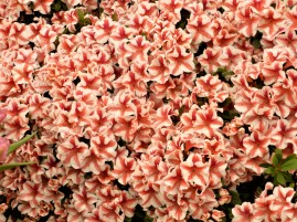 amaryllis en bouquet