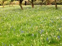 Tapis de muscaris bleus et jaunes et petites tulipes.