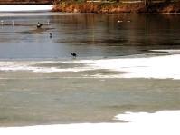 La petite poule d'eau hésite entre glace et eau..