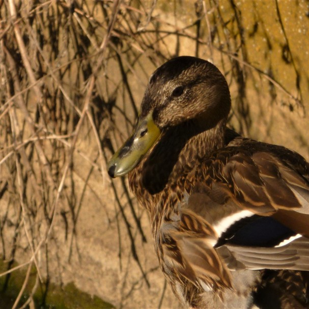 Un canard peu farouche