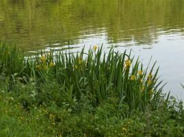 Iris des marais.